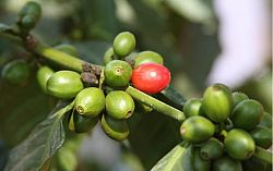 cafea-cascara-proaspat-prajita-honduras-shg-au-marcala-au-250g
